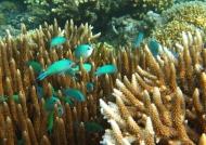 Blue-green Chromises
