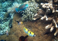 Parrotfish & Butterflyfishes