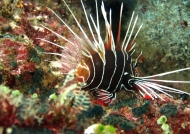 Clearfin Lionfish