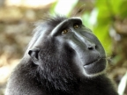 Crested Macaque Face
