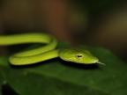 North Sulawesi – Reptiles