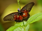 North Sulawesi – Butterflies