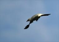 White-rumped Cuckoo-shrike