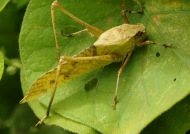Brown Long-legged Katydid