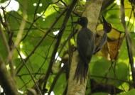 Couple of Ashy Woodpeckers
