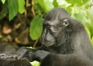 Crested Macaque meditation