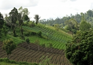 Rice fields near the road