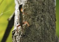 Lined Gliding Lizard