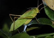 Green Long-legged Katydid
