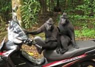 No walking primate shouting