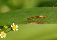 Paddy Bug