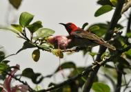 Red-headed Honeyeater