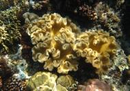 Sarcophyton Soft Coral