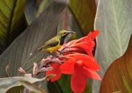m. Olive-backed Sunbird