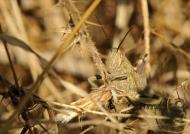 Grasshopper – E. p. plorans