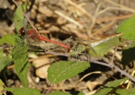 Ruddy Darter mating