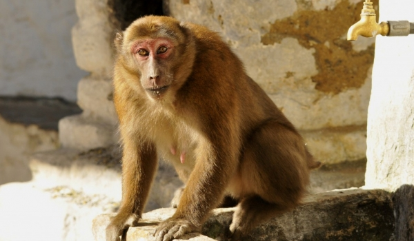 Assam Macaque near a Dzong