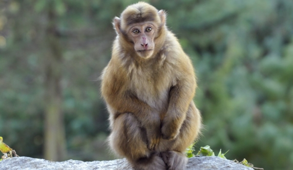 So touching Assam Macaque