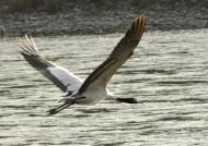 Black-necked Crane