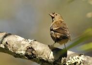Common Rosefinch f.