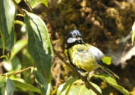Green-backed Tit