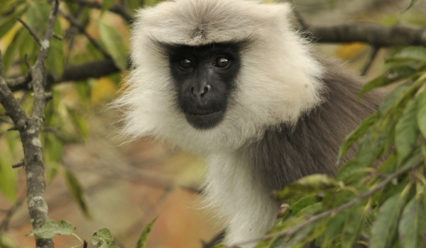 Gray (or Grey) Langur
