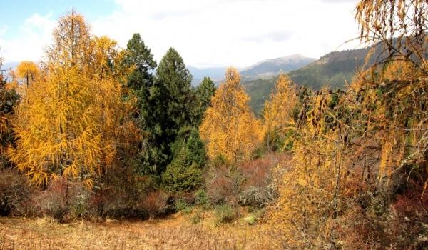 Larches-deciduous conifers