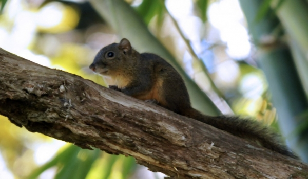 Orange-bellied Squirrel