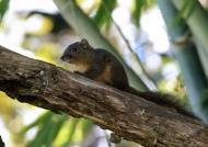 Orange-bellied Squirrel