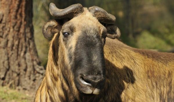 Takin (Thimphu zoo)