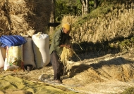 Threshing rice with feet