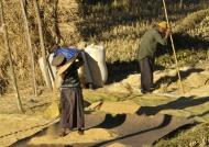 Winnowing & threshing rice