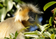 Golden Langur (endangered)