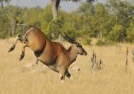 Eland jumping