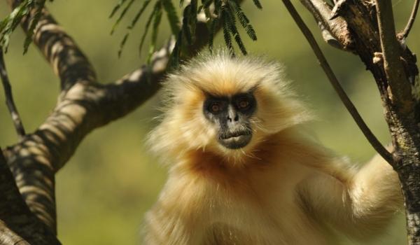 Arboreal monkey