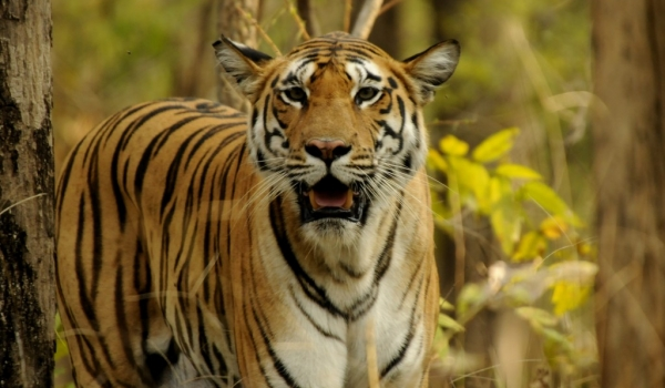 Tiger – Pench N.P.