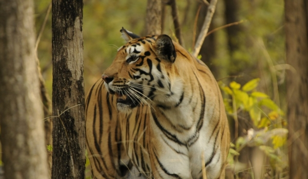 India – Pench NP – Tiger