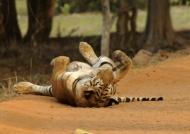 Tiger – happy life!
