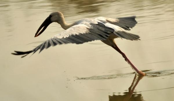 Openbill Stork