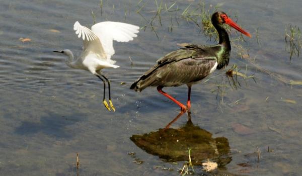 Black Stork & little Egret