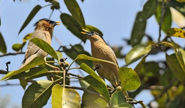 Brahminy Starlings