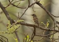Chestnut-shouldered Petronia