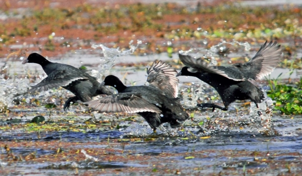Common Coots