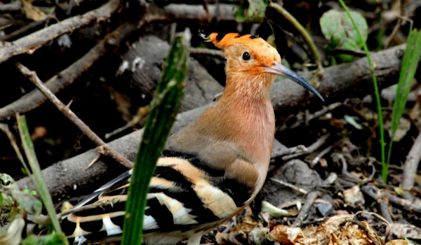 Indian Hoopoe