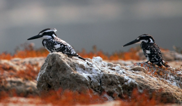 Couple of Pied Kingfishers