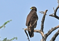 Indian Black Eagle