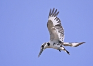 Indian Pied Kingfisher