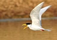 Waterbirds