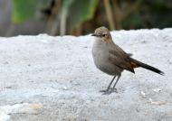 Indian Robin – female