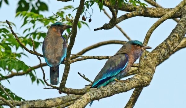 Indian Rollers